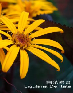 ligularia_dentata.jpg