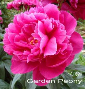 Garden_Peony.jpg