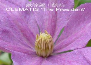 CLEMATIS_1.1.jpg