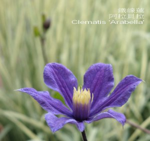 Clematis_Arabella_22.jpg