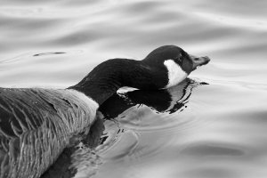 long-necked-canada goose.jpg