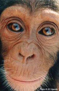 黑猩猩眼白.jpeg