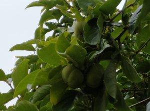 柿子2.jpg