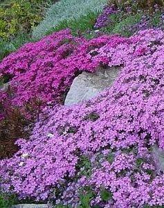 creeping-thyme-purple-creeping-seeds-thymus-serpyllum1.jpg