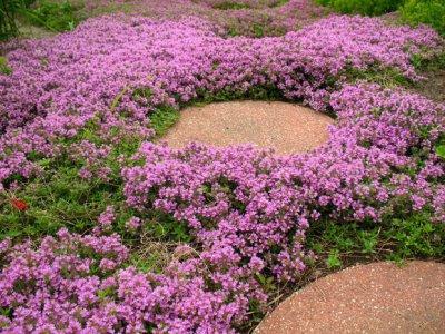 creeping-thyme-purple-creeping-seeds-thymus-serpyllum2.jpg